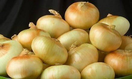 Conservación de cebollas de día corto
