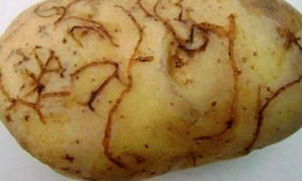 """Circular sobre la """"pulguilla de la patata"""" editada en España por la Comunidad Valenciana"""
