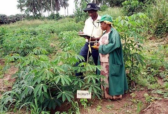 Desarrollo de nuevas variedades de mandioca adaptadas al cambio climático