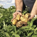 Podredumbres de la patata en el almacén de una industria de producción de patatas fritas