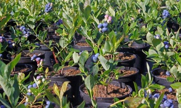 Métodos de cultivo de arándano fuera de suelo, más productivos y controlados