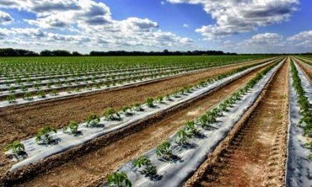 Los plásticos biodegradables para acolchados se organizan