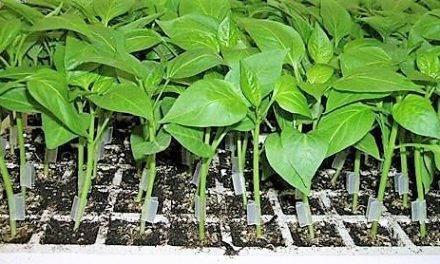 En los portainjertos de hortalizas, ¿qué hay que saber?