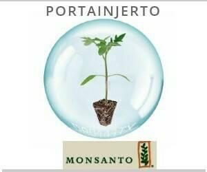 Montsanto Portainjerto 300 x 300