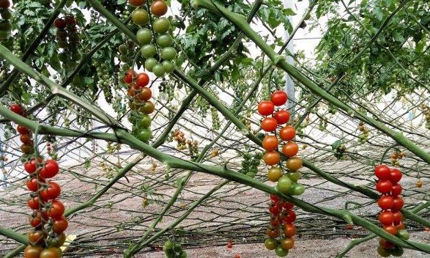 Fusariosis en cultivos hortícolas