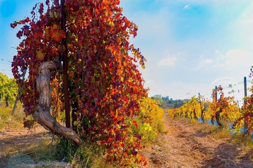 FRUAMO,  especialistas en uva de mesa ecológica