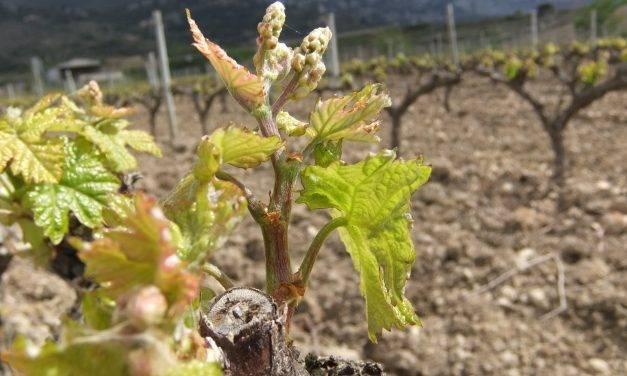Una APP para predecir el riesgo de enfermedades en viñedos