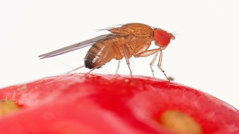 Buenos resultados con mallas para proteger de Drosophila suzuckii