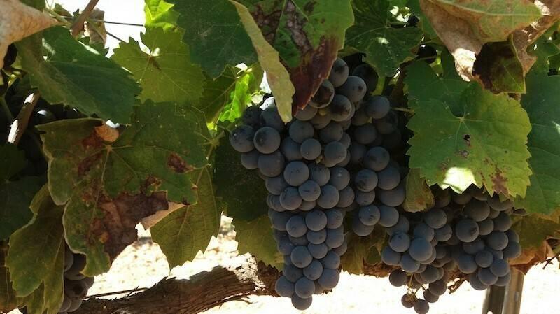 El bioestimulante Phylgreen permite mantener la cosecha en viña a pesar de olas de calor o estrés hídrico