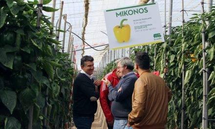 Semillas Fitó completa su gama de california amarillo con Mikonos y Madagascar