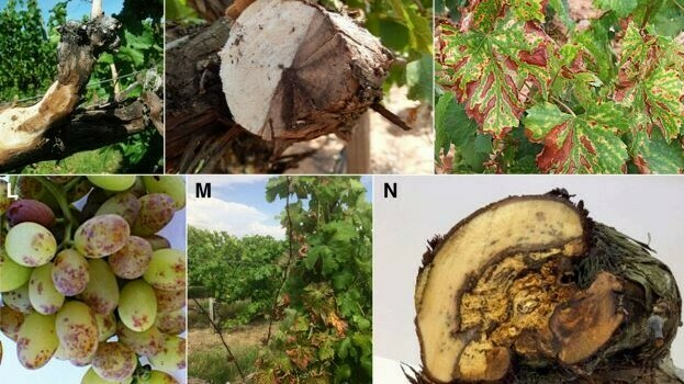 Enfermedades de la madera de la viña
