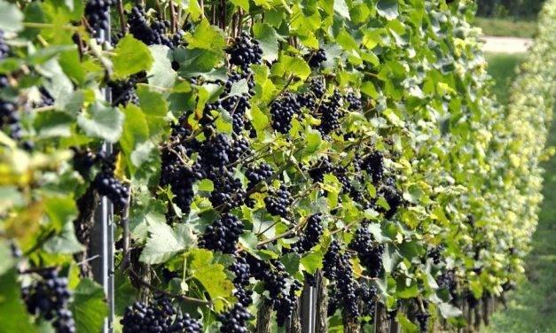 La fertirrigación en los viñedos