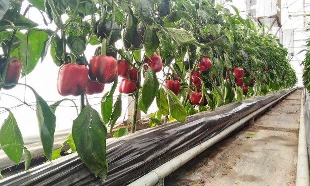 Aumentos de producción ycalidad aplicando de CO2 en el invernadero