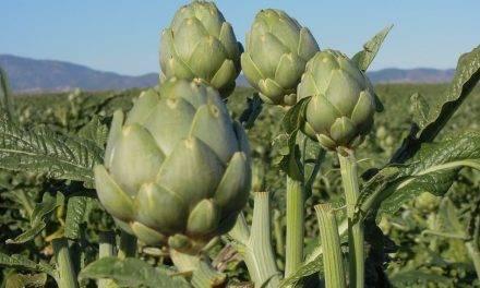 Navarra toma el relevo del Levante en la producción de alcachofa, ahora más tardía,  por bajas temperaturas