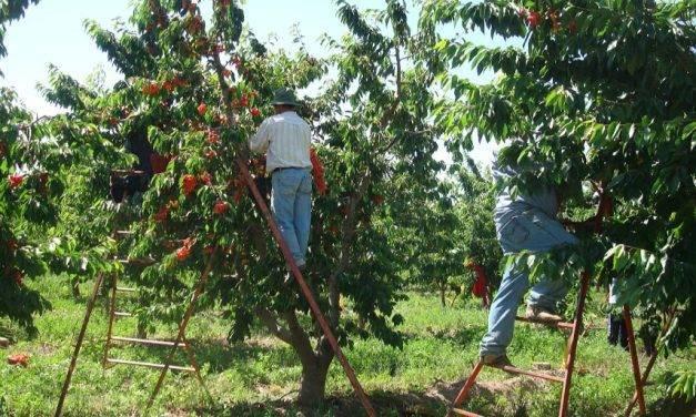 La carga y el centro frutal influyen en el rendimiento de cerezo ´Santina´ y en la calidad de sus frutos
