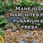 """La """"secadera"""" de la fresa en México es causadapor especies fúngicas"""