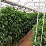 Mayor producción en plantas injertadas de pimiento