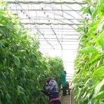 Aportación de CO2 para incidir en la calidad del pimiento