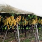 Efectos favorables de las cubiertas de plástico en la calidad de uva de mesa