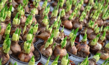 Flower bulb cultivation continues to flourish