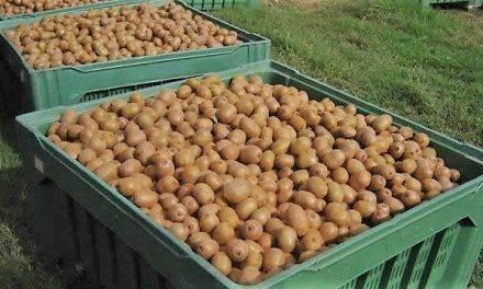 Medidas fitosanitarias en la cosecha de kiwi