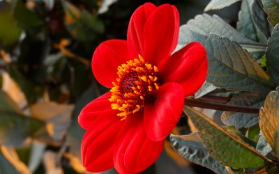Syngenta Flowers adquiere la selección de dalias de Verwer Dahlia BV