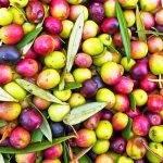 Reducir los residuos en la elaboración de aceitunas de mesa