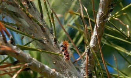 Las hormigas en los cultivos para el control de la procesionaria del pino