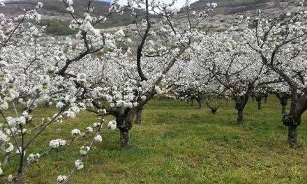 Los cerezos del Valle del Jerte ya están en flor