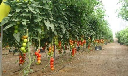 Uso de nutrientes en cultivo de tomate con diferentes niveles de salinidad del agua