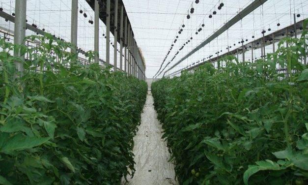 En tomate conducido con entutorado danés, permitir hijos en el tallo principal redunda en una producción mayor