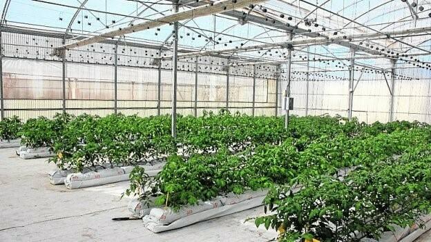 """Sacos de cultivo de fibra de coco, de más volumen para tomate """"Raf"""""""
