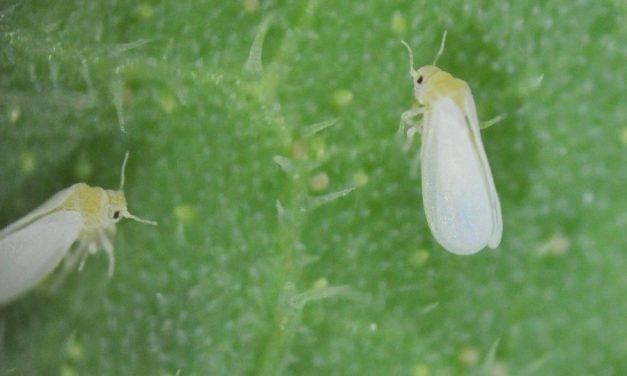 El cambio climático aumenta la población de insectos vectores y contribuye a la expansión de plagas agrícolas