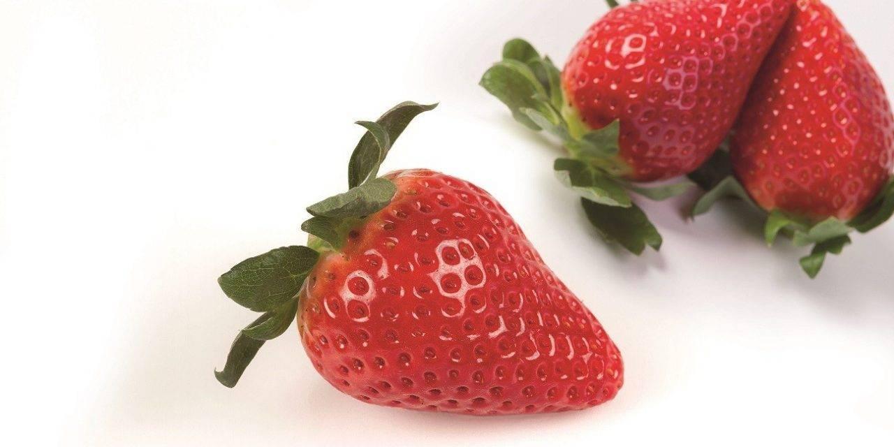 Nueva variedad de fresa: la Savana de Planasa