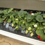 Disminuir solución nutritiva en fresa