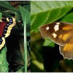 Did you know that trees are important butterfly host plants?