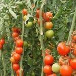 Fertilización nitrogenada en tomate: niveles y evaluación