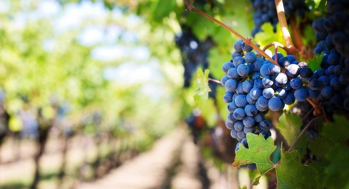 La aplicación de extractos vegetales en uva de vinificación afecta positivamente la calidad organoléptica de los vinos