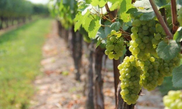 La combinación entre bioestimulación y protección contra plagas permite mejorar la calidad de los vinos