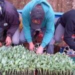 Trasplante masivo de brócoli