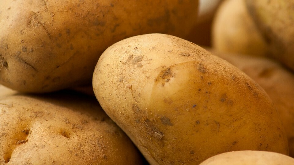 Gas sensors could detect and monitor early soft rot development in potatoes with considerable accuracy