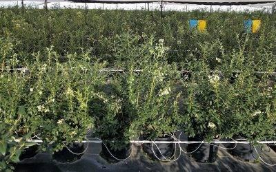 Projar recomienda el cultivo hidropónico para mejorar los rendimientos del arándano