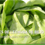 Variedades de lechuga de Bejo resistentes a Bremia