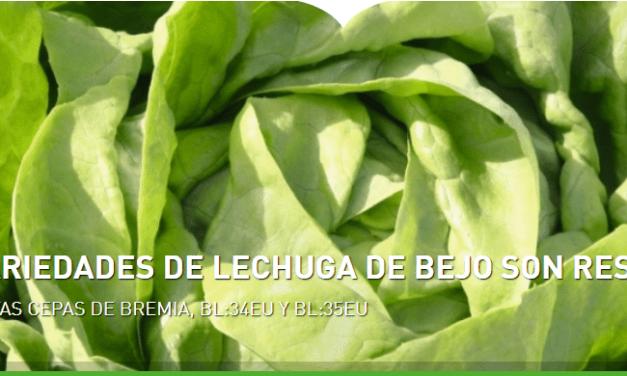 Las variedades de lechuga de Bejo son resistentes a las nuevas cepas de Bremia, BL:34EU Y BL:35EU