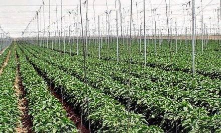 Densidades de plantación en pimiento para tres ciclos anuales