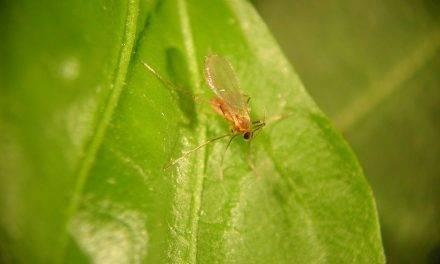 Aphidoletes aphidimyza, un insecto que combate a los pulgones