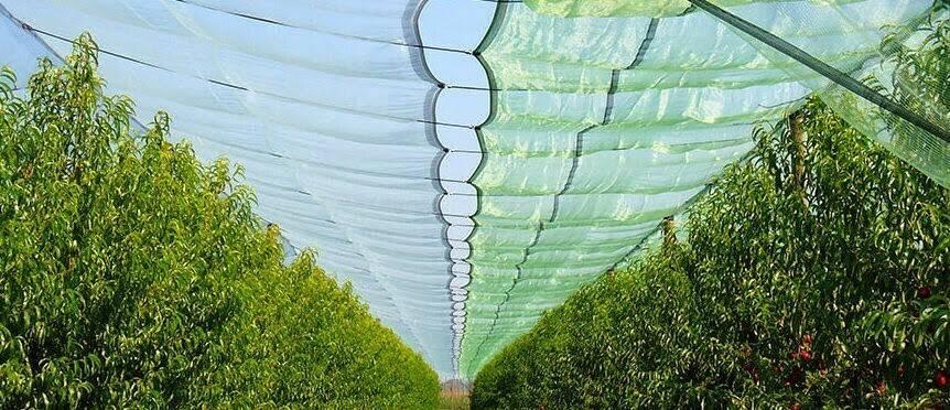 Las mallas controlan el daño solar en las manzanas al reducir el proceso de fotoinhibición en la piel de la fruta