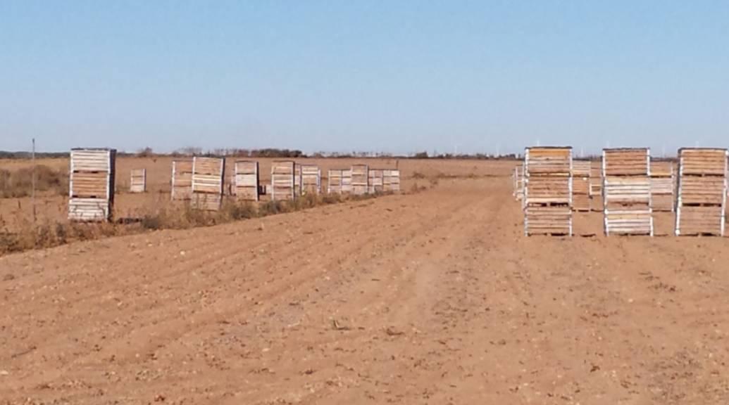 La cebolla, un gran producto que necesita más valorización. El mercado de la cebolla en España
