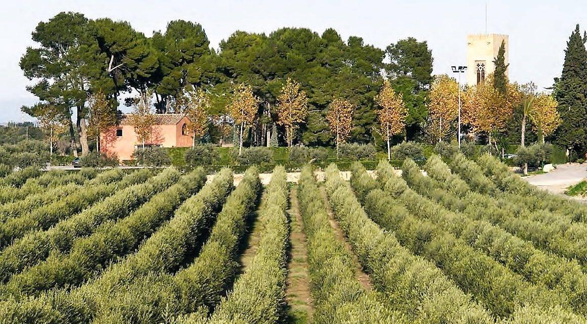 Olivos sanos y bien desarrollados: las técnicas de cultivo, plagas y enfermedades