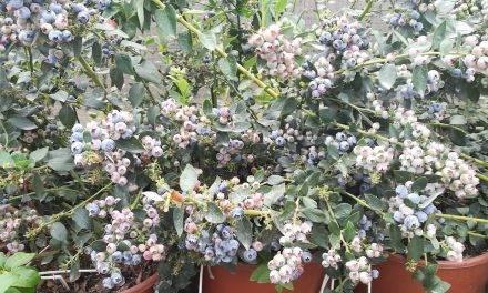 El cultivo hidropónico en el arándano logra un 50% más de producción en su primer año